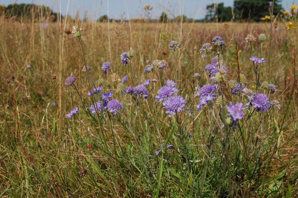 Blommande luktvädd på Revingefältet
