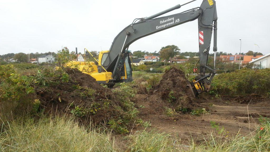 Digging up Rosa rugosa