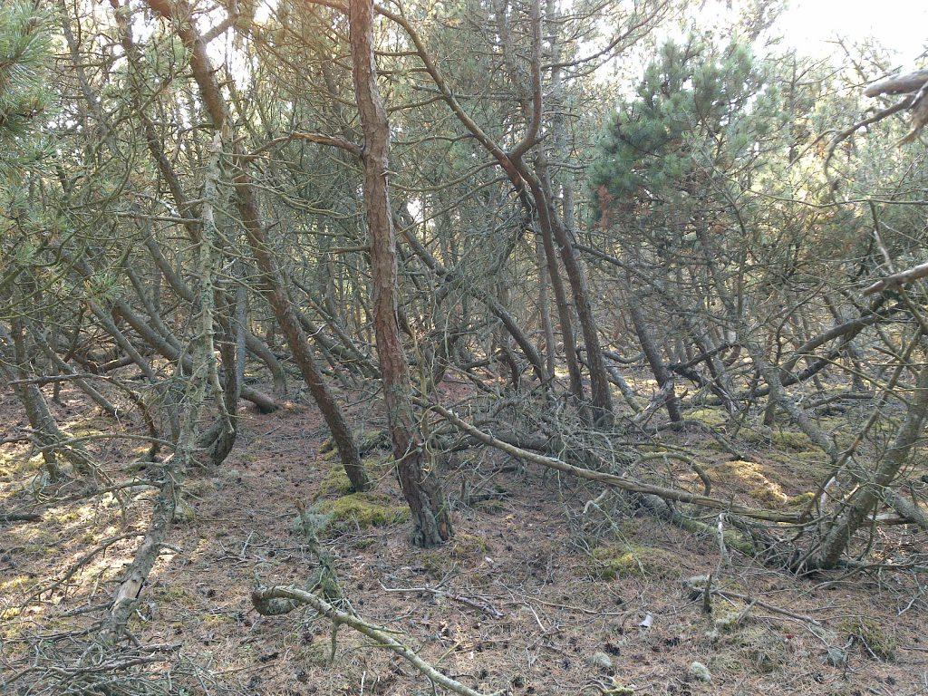 Den täta bergtallen i Haverdal som kommer att plockas bort.