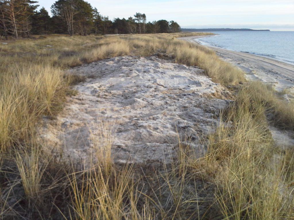 En sandblotta har skapats där det tidigare stod ett buskage med vresros.